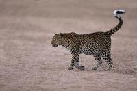 Leopard in riverbed, Zambia, South Luangwa