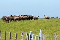 Sheeps 002. Gelting Bay. Germany