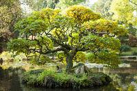 hornbeam, designed as a bonsai