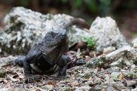 eye-to-eye with a black iguana