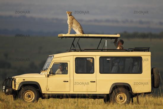 A cheetah perches atop a safari vehicle.