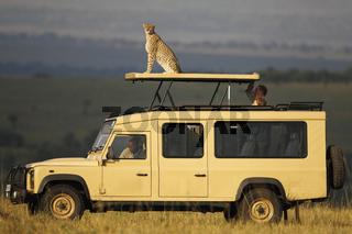 Gepard auf Safari-Fahrzeug