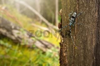 Alpine longhorn beetle climbing on tree in sunlight