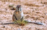Ground squirrel, Kgalagadi Transfrontier National Park, South Africa, (Xerus inauris)