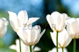 Weiße Tulpen leuchtend im Licht