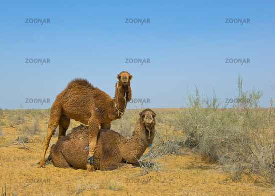 Two camels in the desert