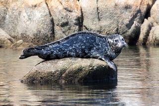 Single Harbor Seal