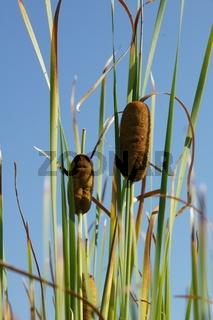 Typha laxmannii, Laxmanns Rohrkolben, graceful cattail