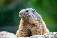 Alpine marmot European wildlife