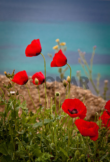 Poppies by the beach