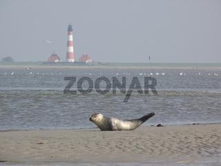 Seehund - common seal