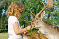 Little girl feeds a deer at the game reserve.