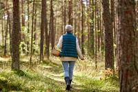 senior woman picking mushrooms in autumn forest