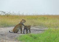 Leopard mother and cub, Maasai Mara, Africa