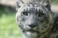 Leopard 017