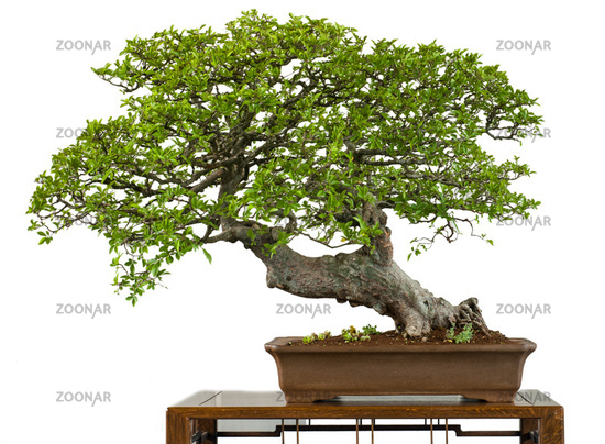 Very old chinese elm as bonsai tree