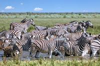 Zebras in the water, Equus quagga, Etosha, Namibia