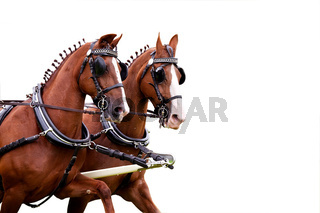 couple of harnessed horses over white