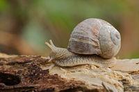 Vineyard snail (Helix pomatia)