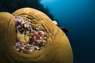 Halsband-Anemonenfisch in Prachtanemone