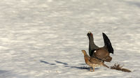 Male and female western capercaillie - Tetrao urogallus - walking on snow at the lek site in Norway