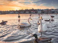 White swans and colored ducks swimming on city lake in Rejkjavik, Iceland