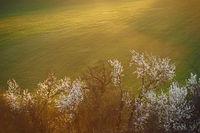 Spring flowering landscape in Moravia in Central Europe