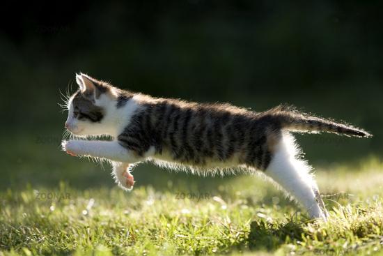 Cat, kitten running on a meadow in the back-light