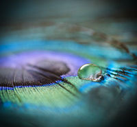 waterdrop on a peacock feather