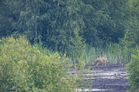 Male Grey Wolf in Germany / Canis lupus