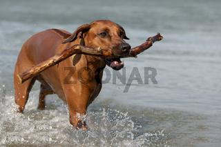 Rhodesian Ridgeback playing in the water