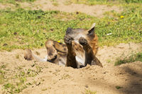 Hyena lying on its back with paws up in a sand pit enjoying the sun being lazy