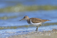 Common Sandpiper at the wash margin looking for food / Actitis hypoleucos