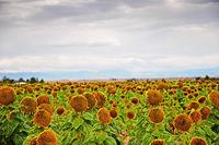 Autumn sunflowers ready to harvest