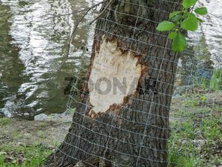 Beaver bite with grid
