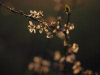 Close up shoot on spring flowering fruit tree