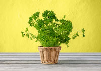 green parsley herb in wicker basket on table