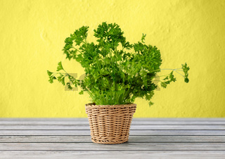 green parsley herb in wicker basket on table