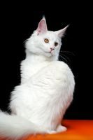 Portrait of Maine Coon Cat white color on orange and black background