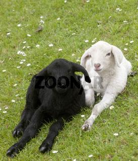 A black an a white sheep lying on the dike