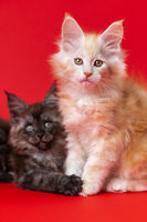 Two twin kittens of Maine Coon Сat of different colors - black smoky and red silver classic tabby