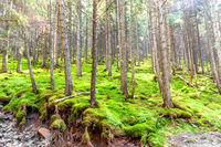 Green pine forest landscape