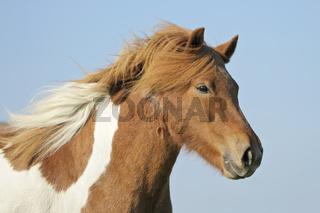 Isländer Icelandic horse