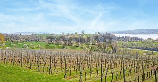 Weinberg bei Überlingen am Bodensee