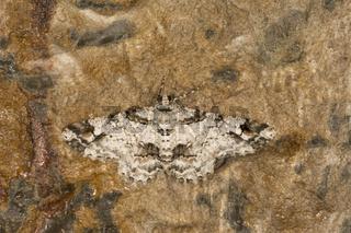 Geometroidea, Moth, Cleora Fratoria, Meghalaya, India