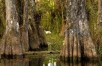 Ibis and Cypress Trees in Everglades, Florida