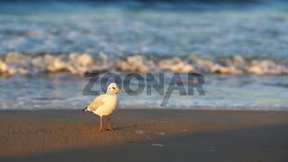 Möwe am Strand der polnischen Ostseeküste