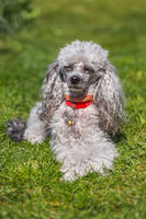 A miniature gray poodle toy laying on a green lawn on a sunny day.