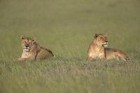 Lioness, Panthera leo sitting on grass mount, Africa