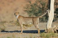 Dominant male cheetah (Acinonyx jubatus) marking its territory